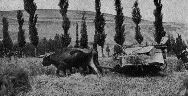 La segadora es arrastrada por una pareja de bueyes